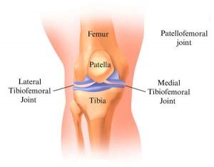 Estructura de la rodilla humana