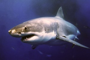tiburon oceanico